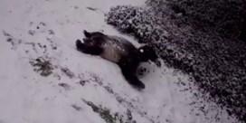 Beelden van speelse panda's in de sneeuw al miljoenen keer bekeken