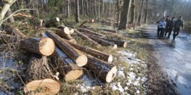 Brugse natuurvereniging laakt grootschalige houtkap Ryckeveldebos