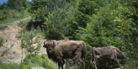 De Europese bizon is terug
