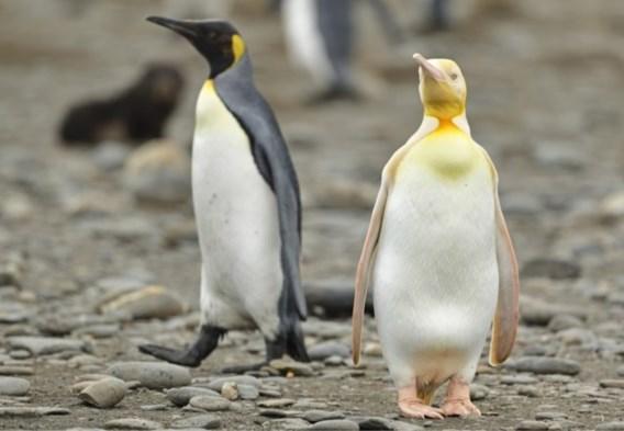 Zeldzame gele pinguïn gefotografeerd door Belgische natuurfotograaf