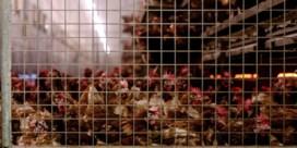 Rusland meldt eerste besmettingen met H5N8-variant van vogelgriep bij mensen