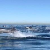 Duizenden dolfijnen razen door oceaan voor kust van Californië