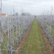 Waarom er overal witte perenbomen te zien zijn in Haspengouw