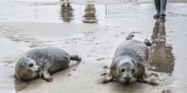 Sea Life Blankenberge laat twee zeehonden vrij