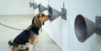 Spectaculaire resultaten bij KV Oostende met honden die covid-19 opsporen: 'Ook haalbare methode voor fans'
