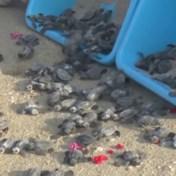 Bedreigde schildpadden vrijgelaten in zee in India