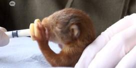 Na hevige rukwinden: dierenasiel vangt pasgeboren eekhoorns op