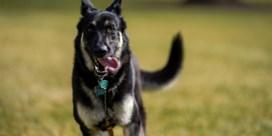Major, de hond van president Biden, mag na training terug naar Witte Huis
