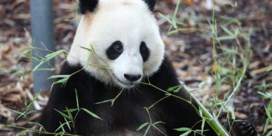Panda valt verzorger aan in Pairi Daiza
