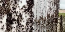 Miljoenen spinnen vluchten voor overstromingswater in Australië