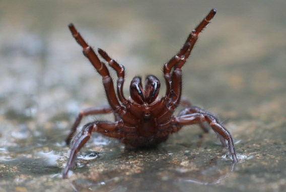 Australisch dierenpark waarschuwt voor giftige tunnelwebspin in huizen