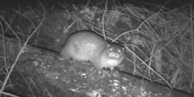 Wildcamera maakt zeldzame beelden van otter in Vlaanderen