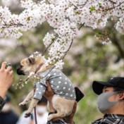 Japanners bewonderen vroegste kersenbloesems in 1.200 jaar