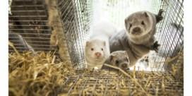 Enige Vlaamse foie grasproducent en elf pelsdierkwekerijen stoppen ermee