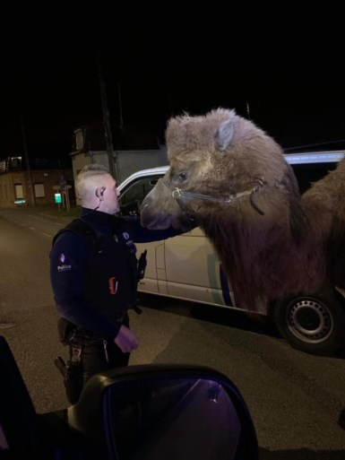 Politie van Doornik zoekt eigenaar van ronddolende kamelen en dromedaris