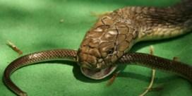 Koningscobra plant zich voort zonder seks