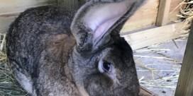 Grootste konijn ter wereld gestolen in Groot-Brittanië