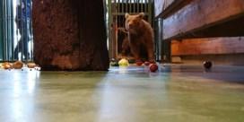 Uit Russische slaapkamer geredde bruine beer heeft nieuwe thuis in België