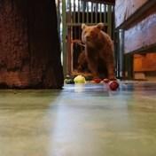 Bruine beer gered uit Russische slaapkamer heeft nieuwe thuis in België