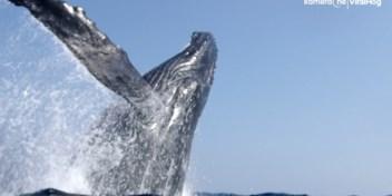 Bultrugwalvis verrast snorkelaars