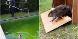 Bever komt in Heverlees zwembad terecht: 'Voelde zich duidelijk op zijn gemak'