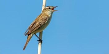 Gaan vogels harder fluiten om boven het verkeerslawaai uit te komen?