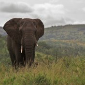 Olifanten trappen stroper dood in Zuid-Afrika