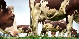 Koeien zullen het klimaat niet redden