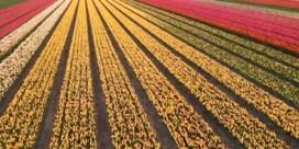 Drone maakt kleurrijke beelden van tulpenvelden in volle bloei