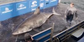 Witte haai van 1.600 kg mogelijk op weg naar Europa