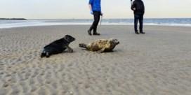 Sea life Blankenberge laat zeehonden vrij in zee