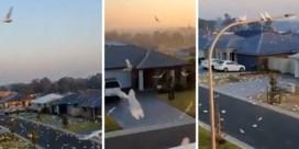 Duizenden kaketoes palmen Australische wijk in: 'precies een scène uit Hitchcock-film The birds'