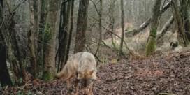 Opnieuw wolvenwelpjes geboren in Noord-Limburg