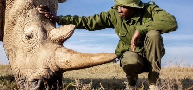 Bij Fatu en Najin, de laatste twee noordelijke witte neushoorns