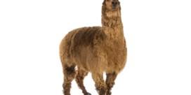 Zorgen om alpaca-hype