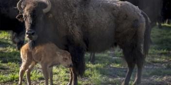 Grand Canyon zoekt vrijwilligers om bizons te doden: 45.000 kandidaten