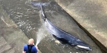 Britten redden gestrande walvis uit Theems in Londen