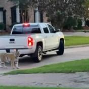 Man houdt ontsnapte tijger die door woonwijk doolt onder schot