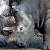 Waarom we alles uit de kast halen om twee neushoorns te redden
