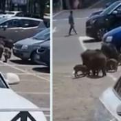 Wilde everzwijnen omsingelen vrouw op parking supermarkt nabij Rome