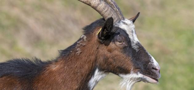 Brandweer zet duizenden geiten in tegen natuurbranden in Californië