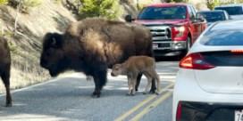 Vermoeid bizonkalf veroorzaakt file in Yellowstone