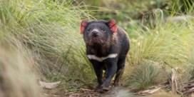 Tasmaanse duivel voor eerst in 3.000 jaar in het wild geboren op Australisch vasteland