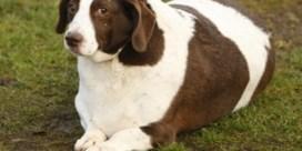 Waals biotechbedrijf ziet brood in obese honden en katten