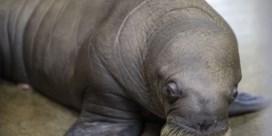 Uitzonderlijke geboorte: Pairi Daiza verwelkomt walrus