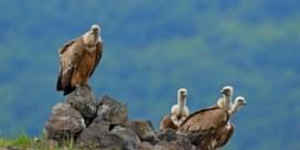 Dankzij 'herverwildering' heeft Bulgarije weer gieren en bizons
