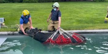 Brandweer moet losgebroken koe uit privézwembad redden