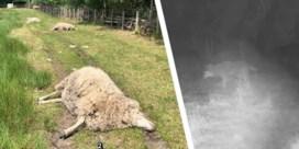 Wolven bijten elf schapen dood in twee nachten