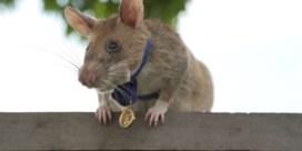 'Dapperste rat ter wereld' gaat met pensioen