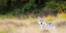 De Deense wolf wordt gemiddeld maar twee jaar